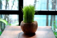 Grönt risgräs planteras på den torkade kokosnöten som garnering Fotografering för Bildbyråer