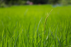 Grönt rislantgårdfält i Laos Arkivbild