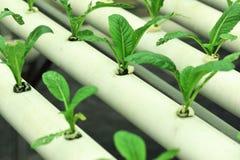 grönt senapsgultt soilless för kultur arkivbilder