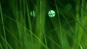Grönt skott för steadicam för fokus för grässlut upp grunt video 4K