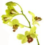grönt slå för orchid arkivfoton