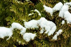 Grönt slut för cederträ för arborvitaes för ThujabarrträdCupressaceae upp filialer som tätt täckas med insnöat den nat vintersäso royaltyfria foton