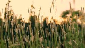 Grönt sommargräs och solsken lager videofilmer