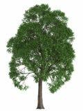 Grönt sommarträd som isoleras på vit bakgrund framför den högkvalitativa poppeln för designbeståndsdellönn Royaltyfri Foto