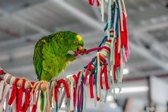 Grönt spela för papegoja Arkivbilder