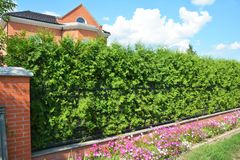 Grönt staket med den klippte gröna thujaen och svetsad trådfäktning arkivbild