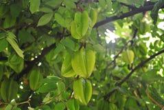Grönt stjärnafruktträd Royaltyfri Bild