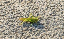 grönt stort för gräshoppa Royaltyfria Bilder