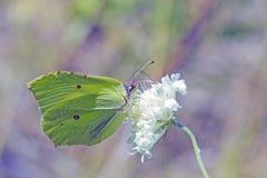 Grönt svavel för fjärilsGonepteryx rhamni på den vita blomman fotografering för bildbyråer