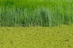 grönt swampvatten Arkivbild