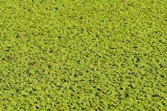 grönt swampvatten Royaltyfria Bilder