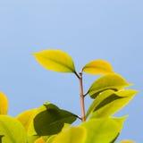 Grönt te Arkivfoton