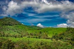 Grönt te arbeta i trädgården kullar med blå himmel royaltyfria foton