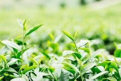 Grönt te med friskhet Royaltyfri Bild