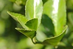 Grönt te växer i natur på kanten av en bergström Arkivfoto