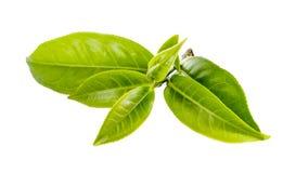 Grönt teblad som isoleras på vit bakgrund Arkivbild