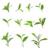 Grönt teblad som isoleras på vit bakgrund Royaltyfri Bild