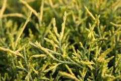 Grönt thujaträd Arkivfoton