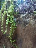 Grönt trä Royaltyfria Bilder