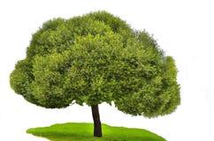 Grönt träd Royaltyfria Foton