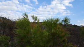 Grönt träd för gran i Carmel berg, Israel Arkivfoton