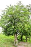 Grönt träd för tamarindfrukt med bladet arkivbild