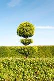 Grönt träd för Topiary med häcken på bakgrund i dekorativ trädgård Arkivfoton