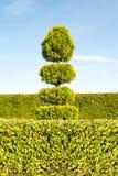 Grönt träd för Topiary med häcken på bakgrund i dekorativ trädgård Fotografering för Bildbyråer