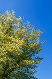 Grönt träd för vår under blå himmel Royaltyfria Bilder