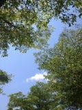 Grönt träd i blå himmel Royaltyfria Foton