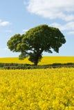Grönt träd i ljusa gula rapsfröfält Arkivbild