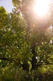 Grönt träd i solljus Fotografering för Bildbyråer