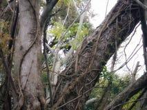 Grönt träd med spansk mossa i vår royaltyfri foto