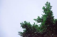 Grönt träd på en grå himmelbakgrund Arkivbild