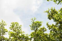 Grönt träd på himmelbakgrund fotografering för bildbyråer