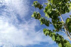 Grönt träd under blå himmel med härliga moln Fotografering för Bildbyråer