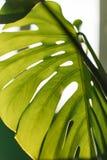 Grönt tropiskt Monstera blad close upp Bakgrund fotografering för bildbyråer