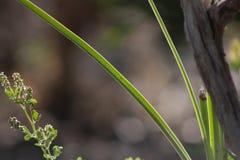 Grönt tunt blad för raksträcka Royaltyfri Fotografi