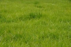 Grönt untrimmed gräsfält Arkivfoton