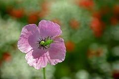 Blomma med skalbaggen Arkivbild