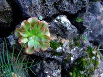 Grönt växa för blomma på en sten Arkivfoto