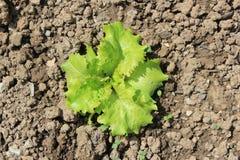 Grönt växa för grönsallat Arkivbild