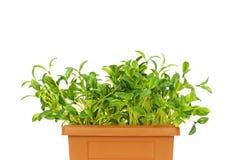 Grönt växa för plantor arkivbild