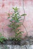 Grönt växa på betongväggen Royaltyfri Fotografi