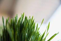 Grönt vårgräs med dagg som en bakgrund arkivbilder