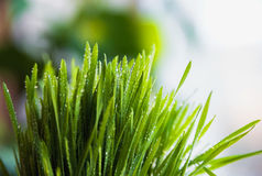Grönt vårgräs med dagg som en bakgrund royaltyfri fotografi