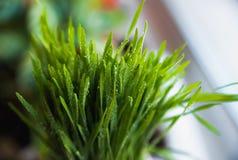 Grönt vårgräs med dagg som en bakgrund royaltyfria foton