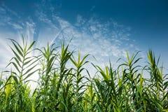 Grönt vassgräs och blå himmel Arkivfoton