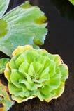 grönt vatten för duckweed arkivfoto