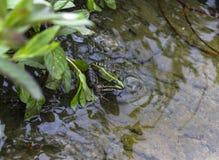 grönt vatten för groda Royaltyfria Foton